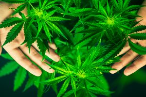 Marijuana rental lease clause