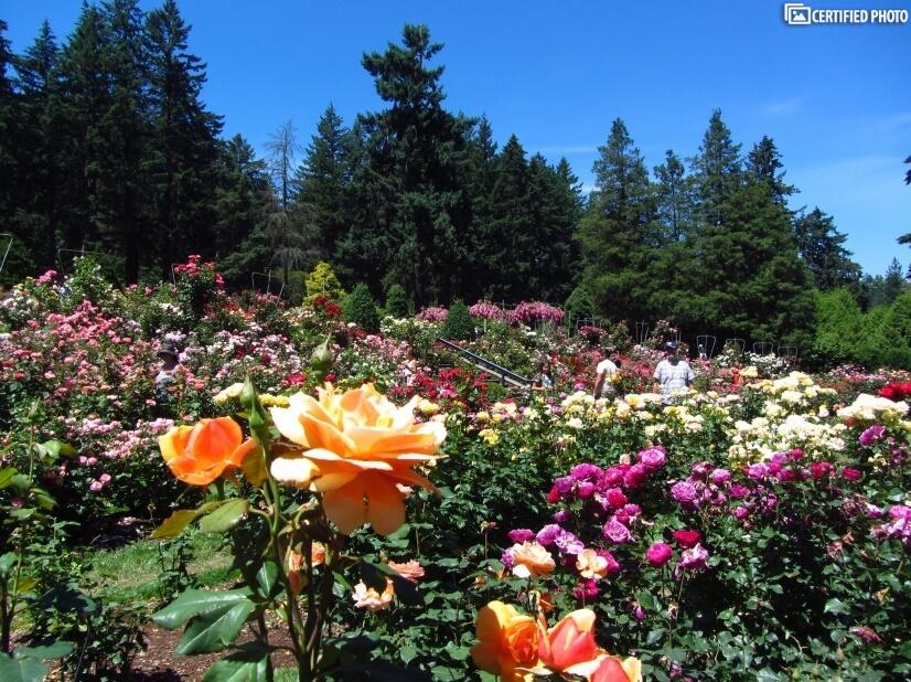 Peninsula Park Rose Garden, six blocks to the