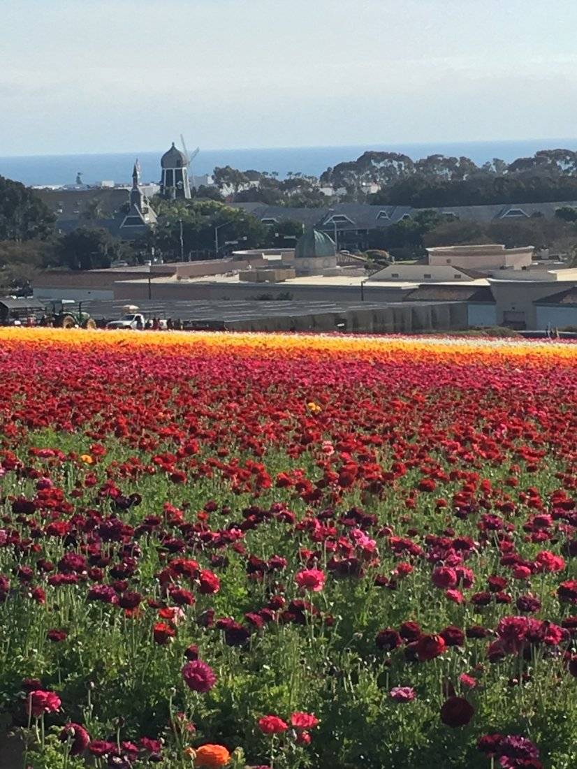 Flower Fields open from March through Mother's Day