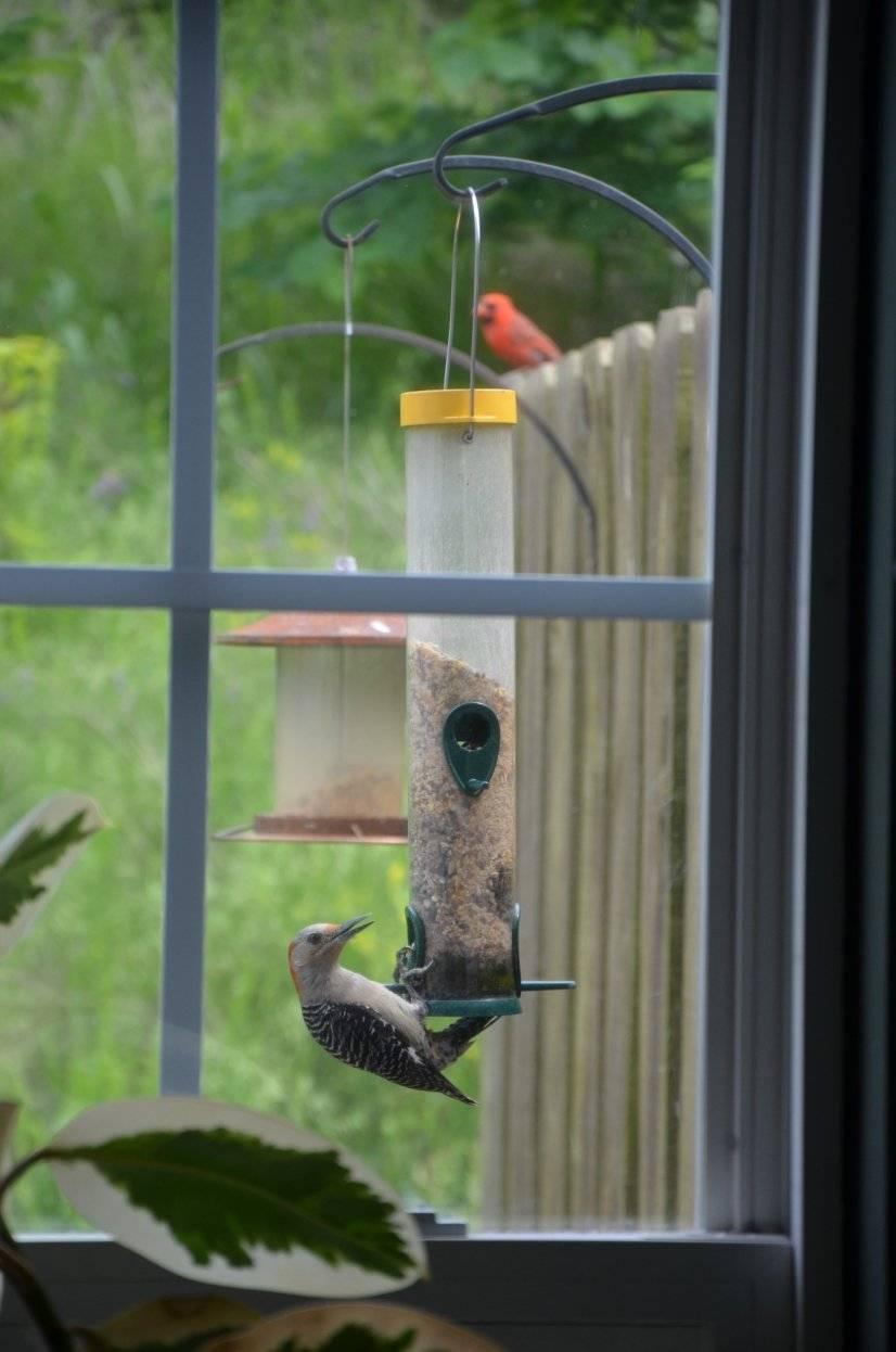 Watch birds daily - woodpeckers, cardinals, bluejays ..