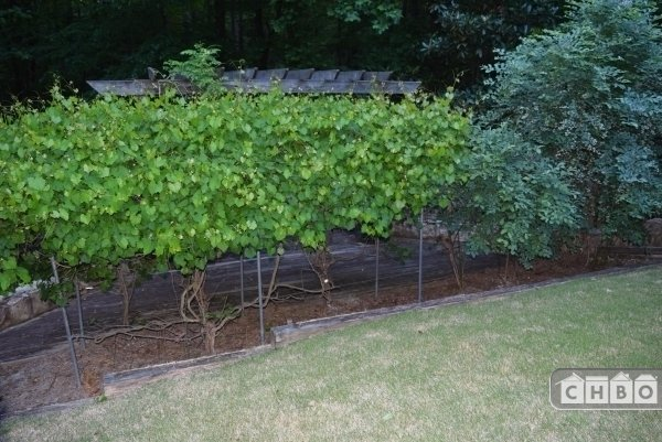 Muscadine Vines and Blueberry Bushes Outside the Door