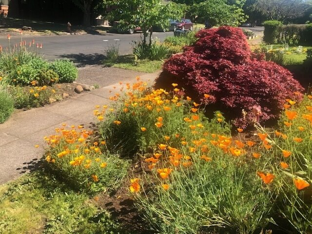 Japanese Maple (Shaina) & California Poppies
