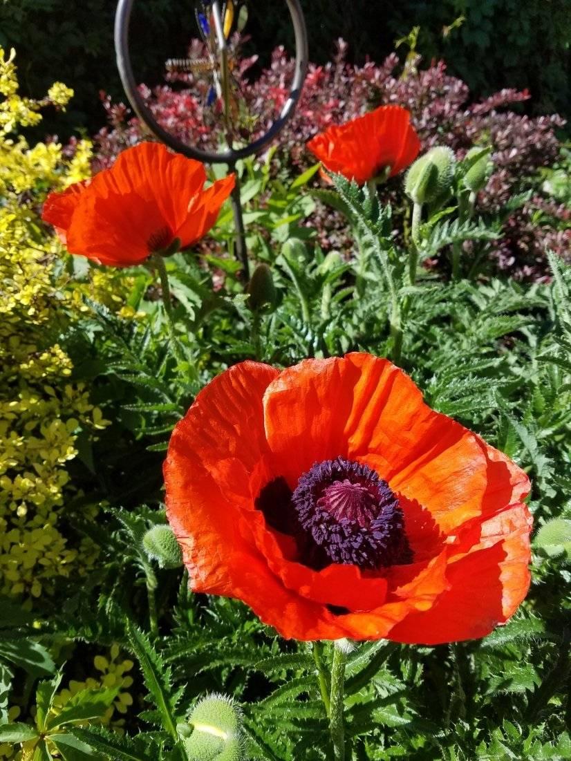 poppy (backyard)