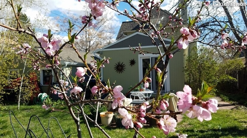 Peach blossoms in spring, peaches in summer.