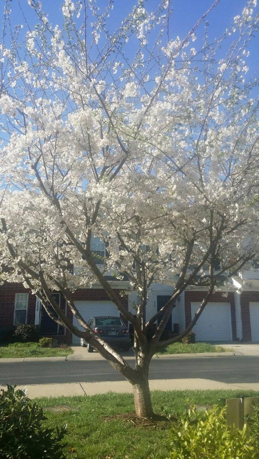 Gorgeous cherry tree in front yard