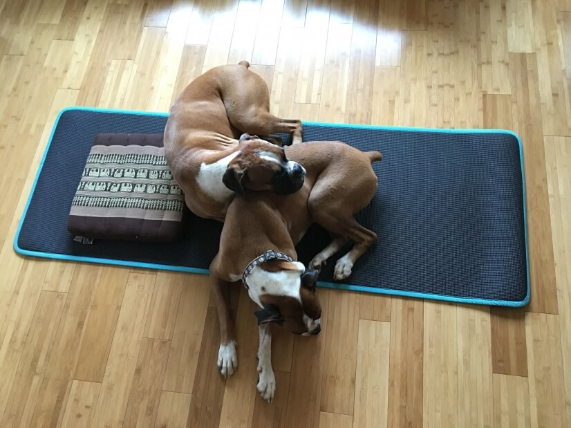 Owners have friendly dogs-2 boxers, 1 french/english bulldog