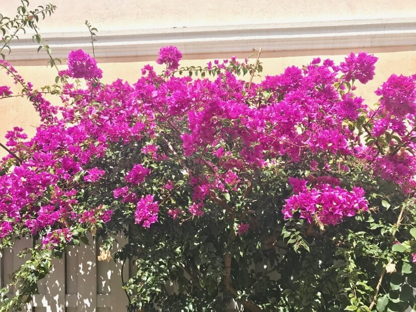 Beautiful bougainvillea provides privacy from neighbors